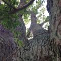 The enormous Oak Tree at Landet ChurchYard