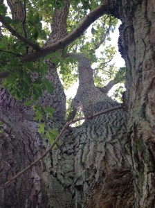 The enormous Oak Tree at the church yard