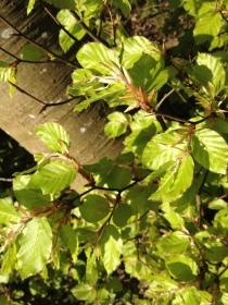 Beech tree leaves