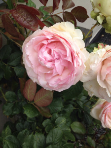 Roses by MH