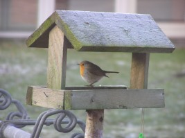 A Robin in our garden