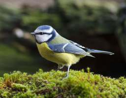 Photo erik borch The Blue Tit