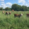 curious cows at thelake
