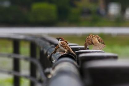 Pixabay sparrows