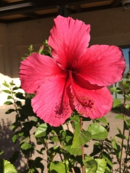 Hibiscus seen at the park of the Ronald Reagan Library