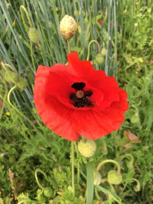 A poppy always reminds me of soldiers dead in the battlefields