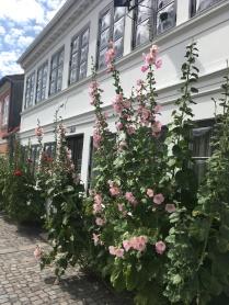 Hollyhocks in Odense