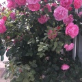 Roses on the wall inFriedrichstadt