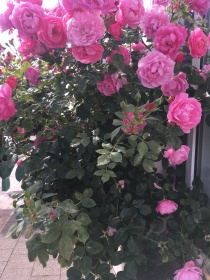 Roses on the wall in Friedrichstadt
