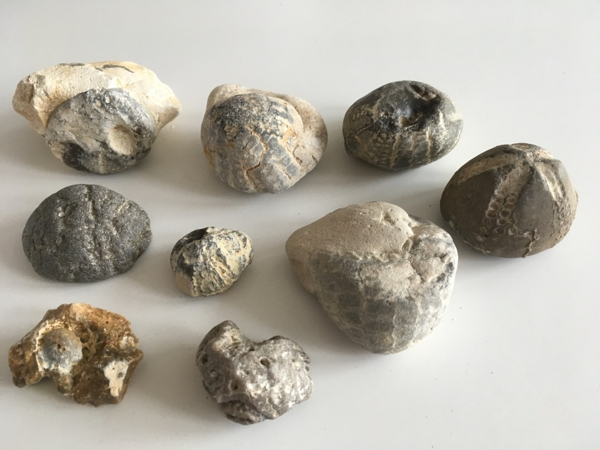 Fossils from sea urchins