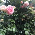 The Rose Garden at Washington Park inPortland