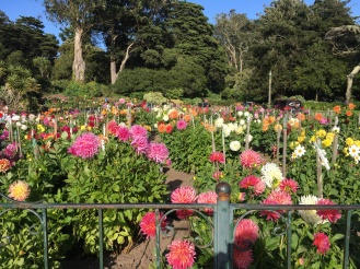A flower garden of Dahlias at the Golden Gate Park