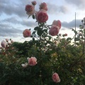 Roses on our way between Ballard and downtownSeattle