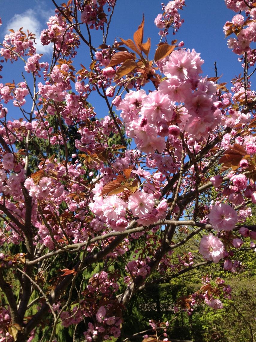 Cherry blossom in May in Copenhagen