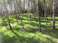 Birch trees close to Linnés place of birth