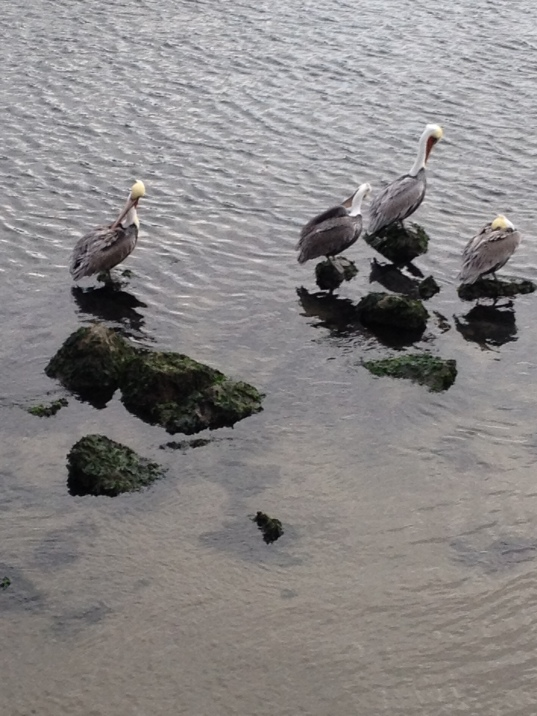 Pelicans at the coast at Monterey