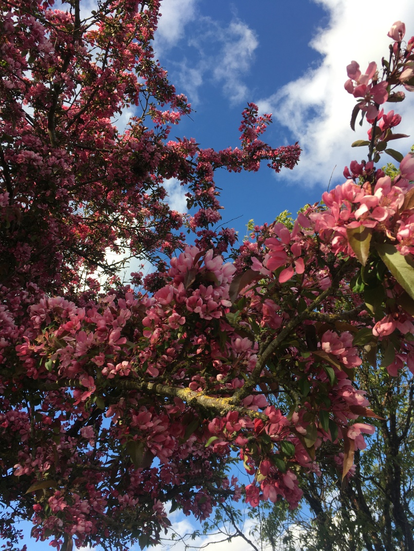 A Japanese cherry tree in blossom seen on a running exercise