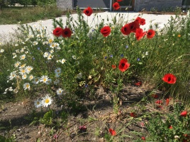 Wild poppies resembling the lost lives of soldiers