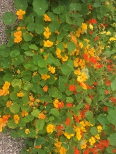 Nasturtium in yellow and orange from the garden of Gavnø