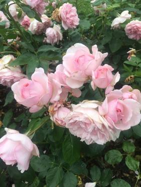 Roses at Gavnø