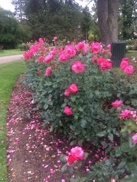 Roses along a path